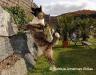 American Akita -bea-hunderasse