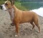 american-staffordshire-terrier-staff.jpg