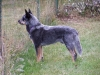 australian-cattle-dog2