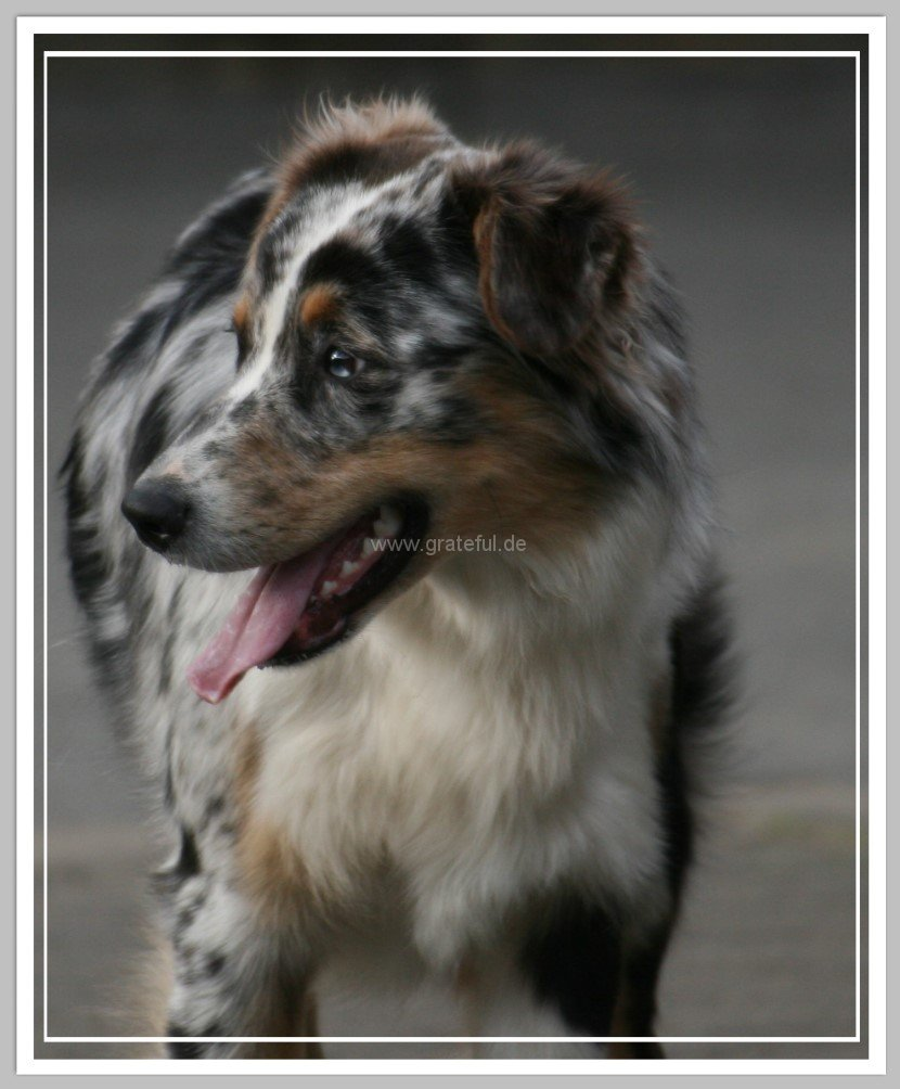 Australian Shepherd - Hunderasse A - Hundeseite.de - photo#7