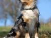 Australien Shepherd Blue Merle
