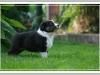 Australian Shepherd Welpe Black Tri