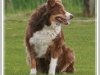 australian-shepherd-red-tri.jpg