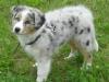 Australian Shepherd Welpe Blue Merle