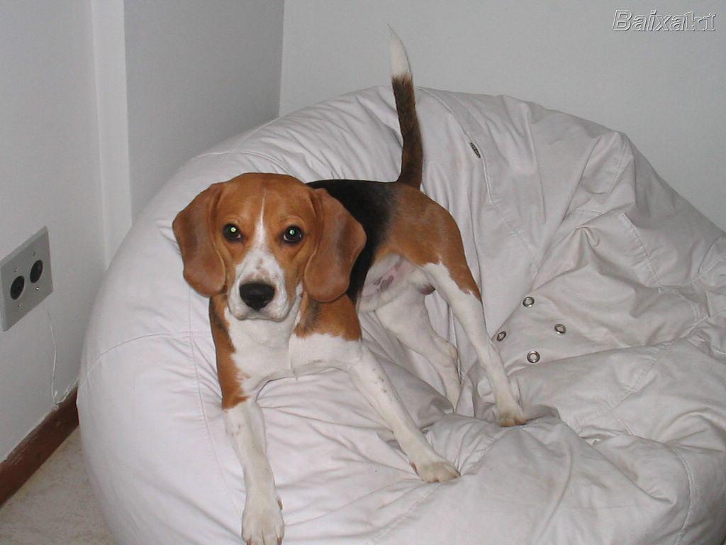 beagle hunderasse b. Black Bedroom Furniture Sets. Home Design Ideas