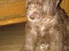 bedlington-terrier-welpe
