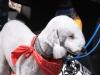 bedlington-terrier2