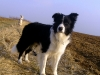 border-collie-ruede