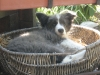 border-collie_0
