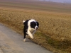 border-collie_1