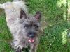 cairn-terrier4