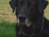 castro-laboreiro-herdenschutzhund
