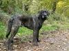 castro-laboreiro-herdenschutzhund_0