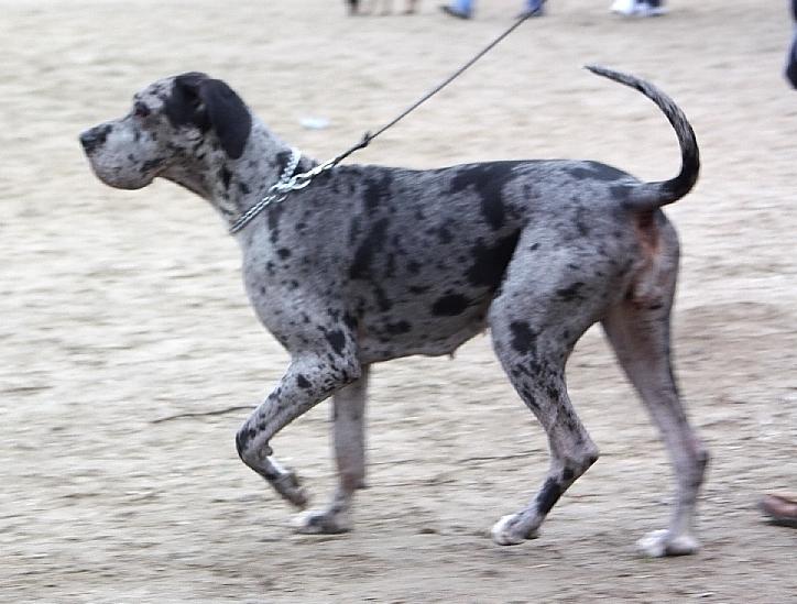 Deutsche dogge kosten pro monat