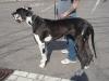 Deutsche Dogge gefleckt