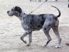 Deutsche Dogge grautiger merle