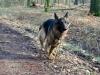 altdeutscher-schaeferhund2