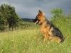 deutscher-schaeferhund_0