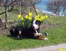 entlebucher-sennenhund-luna.jpg