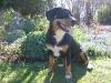 entlebucher-sennenhund_0
