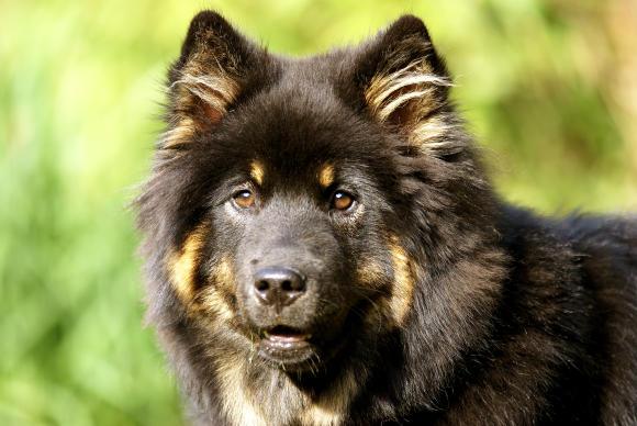 Eurasier Hunderasse E Hundeseite De