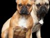 babsi-biene-franzoesische-bulldogge-gelb-sand-rot