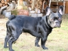 franzoesische-bulldogge- french bulldog