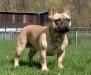 french-bully - französische Bulldogge