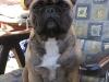 tiva-franzoesische-bulldogge.jpg