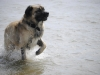 germanischer-baerenhund-2