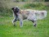 germanischer-baerenhund