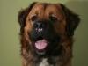germanischer-baerenhund_0