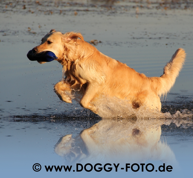 Golden Retriever - Hunderasse G - Hundeseite.de