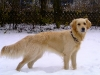 golden-retriever-creme-blond