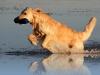 Golden retriever field trial