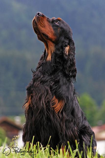 Gordon Setter  Hunderasse G  Hundeseite.de