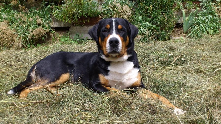 Gro 223 Er Schweizer Sennenhund Hunderasse G Hundeseite De