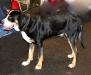 grosser-schweizer-sennenhund