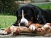 grosser-schweizer-sennenhund1.jpg