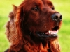 irish-red-setter