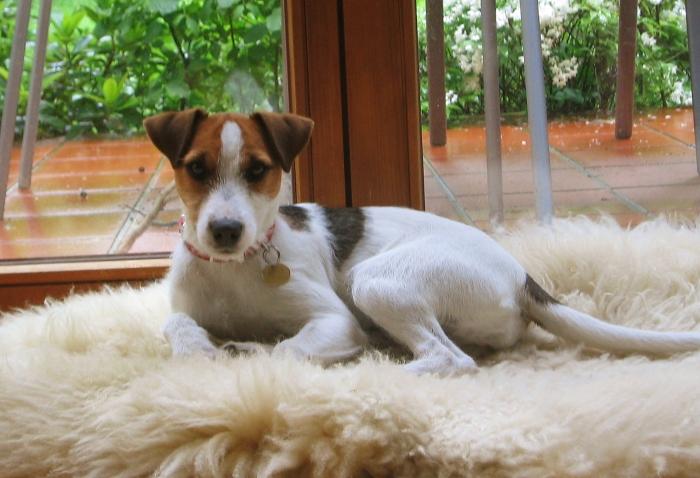 Jack Russell Terrier Hunderasse J Hundeseite De