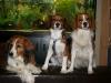 kooikerhondje-kooiker-hunde