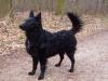 kroatischer-schaeferhund-hrvatski-ovcar2