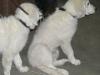 kuvasz-junghunde