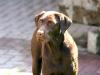 Labrador Retriever schoko braun