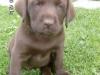 Labrador Retriever schoko welpe