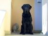 Labrador Retriever schwarz