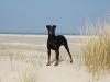 manchester-terrier1