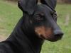 manchester-terrier2
