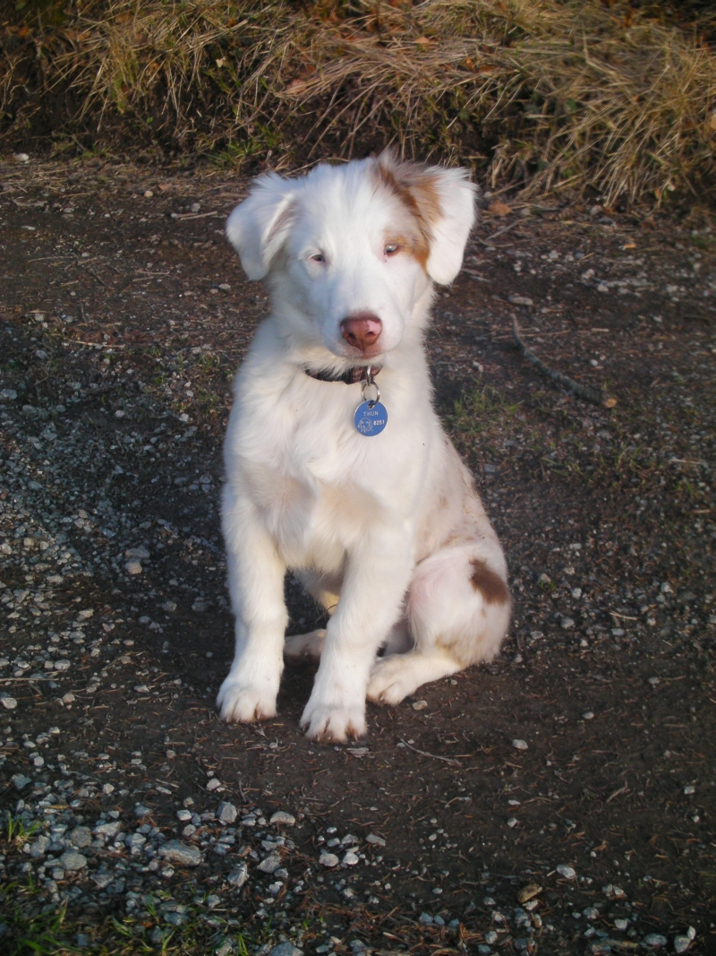 Australian Shepherd - Pictures, posters, news and videos on your ...